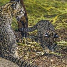 Geoffroy-macska